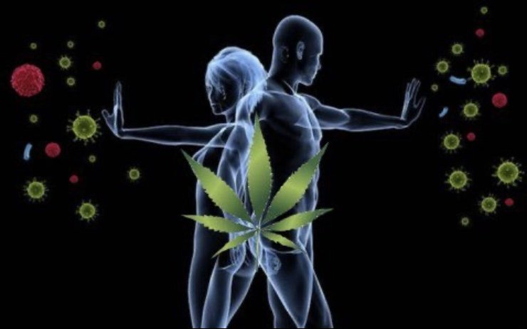 CBD - how does it affect the human immune system?