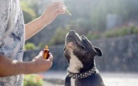 CBD Oils For Dogs As An Approved Veterinary Medicinal Product